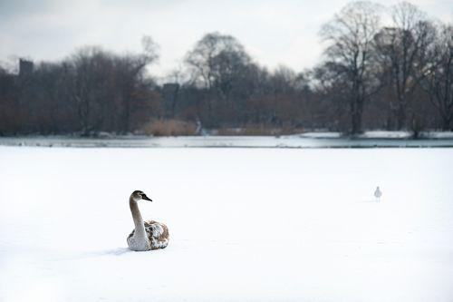 Brown-goose-on-the-lake