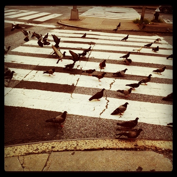Pigeon_crossing